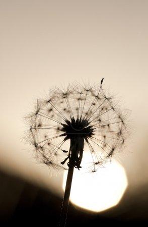 Sunset Dandelion Macro