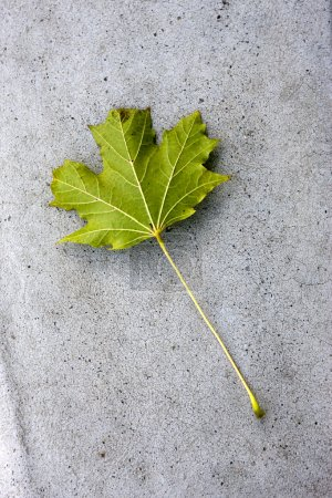 Green maple leaf on concrete.