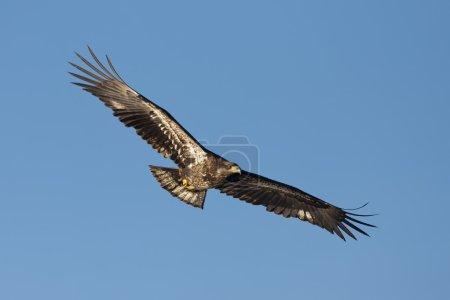 Photo pour Un jeune pygargue à tête blanche s'envole dans le ciel . - image libre de droit
