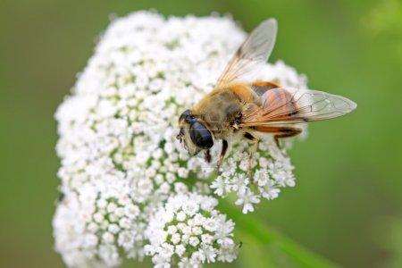 Photo pour Diptera syrphidae insectes sur les fleurs, prendre des photos à l'état sauvage naturel, comté de Luannan, province du Hebei, Chine - image libre de droit