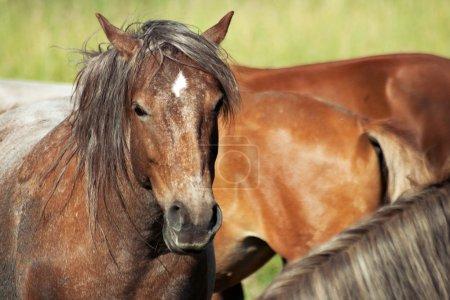 Horses (Equus ferus caballus)