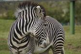 Zebra Grévyho - Equus grevyi