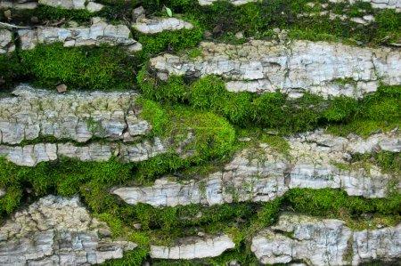 Photo pour Fond texturé en bois avec mousse verte - image libre de droit