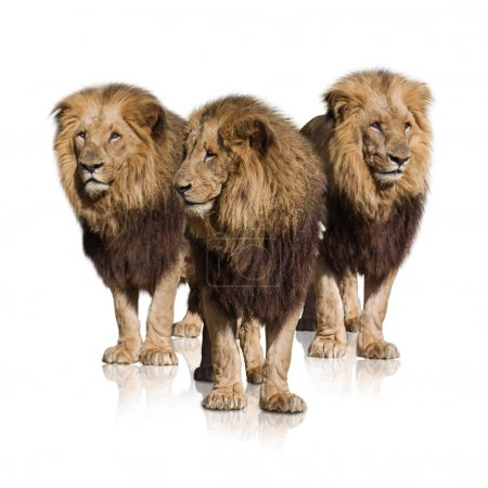 Group Of Wild Lions