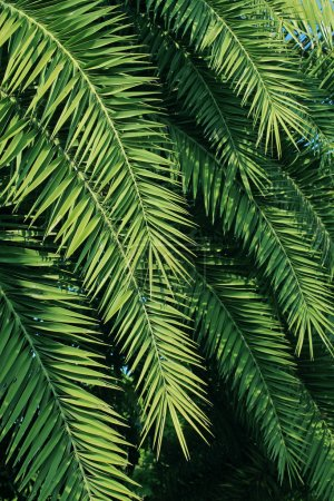 Photo for Palm trees leaves - Royalty Free Image