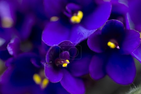 Photo for Dark purple African violets - Royalty Free Image