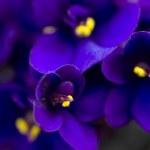 Dark purple African violets...