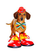 Clown dog wearing  funny shoes