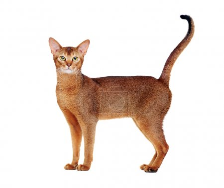 Photo for Abyssinian cat tail up side view full length  portrait - Royalty Free Image