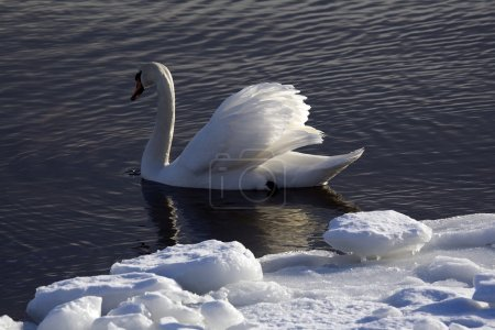 Photo for Portrait of a swan. Water background - Royalty Free Image