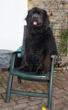 Dog likes to sit in chair...