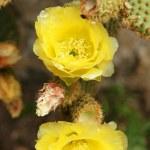 Yellow cactus flower, Lanzarote, Canary Islands...