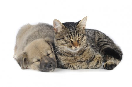 Photo for Cat and dog on a white background - Royalty Free Image