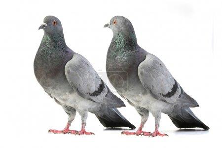 Photo pour Pigeons sur fond blanc - image libre de droit