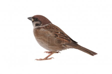 Sparrow on a white background...