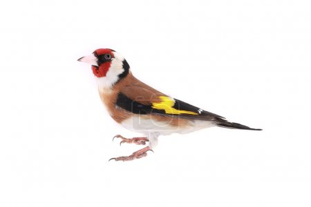 Goldfinch on a white background...