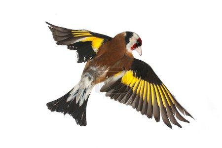 Photo pour Chardonneret en vol sur fond blanc - image libre de droit