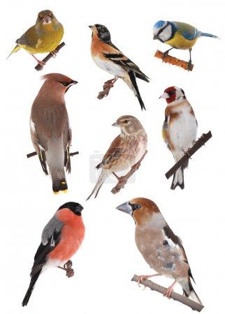 Photo pour Oiseaux sur fond blanc - image libre de droit