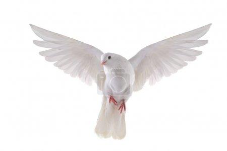 Photo pour Gratuit colombe blanche volant isolé sur fond blanc - image libre de droit
