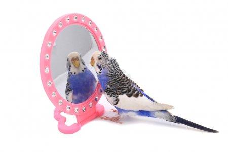 Photo pour Perruche australienne Budgie sur fond blanc avec un miroir - image libre de droit