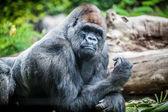 Silverback gorila