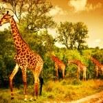 Image of a South African giraffes, big family graz...