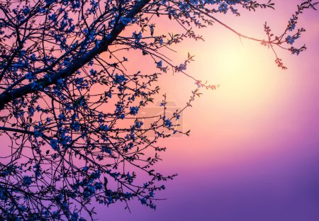 Photo for Image of gentle cherry blossom over purple sunset, abstract natural background, pink sunrise, branch of blooming fruit tree, natural border, spring season, fresh apple flowers - Royalty Free Image