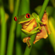 Photo of little cute green frog with red eyes sitt...