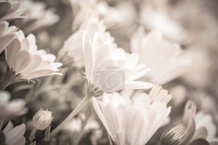 Photo pour Photo noir & blanc de fleurs belle Marguerite doux frais, flou artistique, temps de printemps saison - image libre de droit