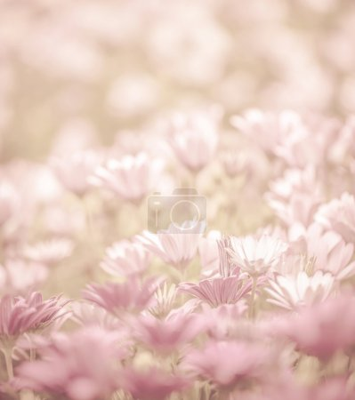 Photo for Pink abstract floral background, daisy flowers, soft focus, spring nature, blooming meadow, shallow depth of field - Royalty Free Image