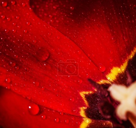 Photo for Closeup photo of red tulip core, abstract floral background, dew drops on petals of flower, spring time nature detail - Royalty Free Image