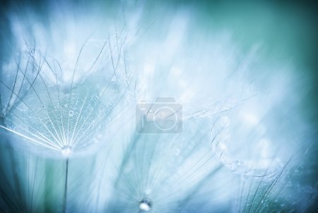 Photo for Blue abstract floral background, closeup of dandelion flowers with dew drops, nature detail, summer tim - Royalty Free Image