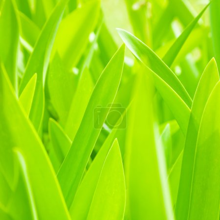 Photo for Fresh green leaves background, beautiful floral pattern, summer nature, sunny day, plant freshness - Royalty Free Image