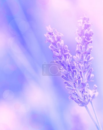 Photo for Closeup on beautiful gentle lavender flower on blurry purple background, soft focus, violet wildflower, summer time nature - Royalty Free Image