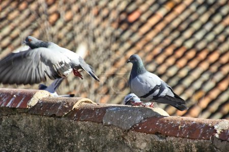 Pigeons walking in the old roofs of the houses