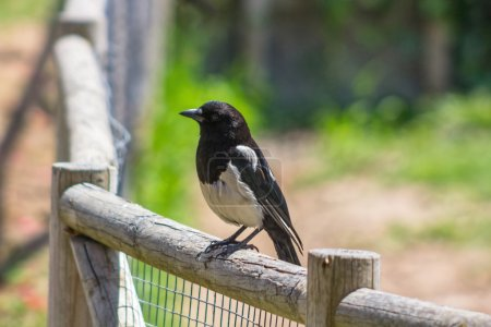 Magpie perched on a stick