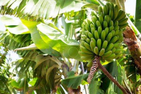Foto de Platano plantaciones de plátano canario en Canarias la palma - Imagen libre de derechos