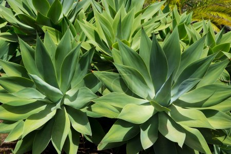 Photo for Agave Attenuata cactus plant from Canary Islands in La Palma - Royalty Free Image