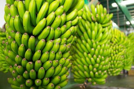 Canarian Banana Platano in La Palma