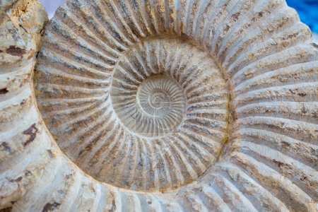 Ancient snail spiral fossil detail