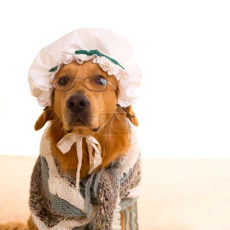 Photo pour Loup chien habillé comme grand-mère golden retriever comme bébé petit chaperon rouge conte - image libre de droit