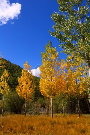 Autumn fall forest with yellow golden poplar trees