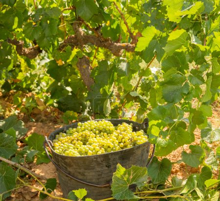 Photo for Chardonnay harvesting with wine grapes harvest in Mediterranean - Royalty Free Image