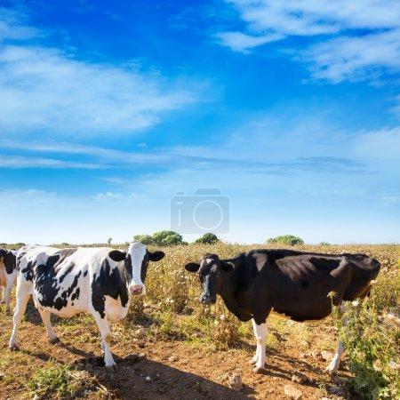 Menorca friesian cows cattle grazing near Ciutadella