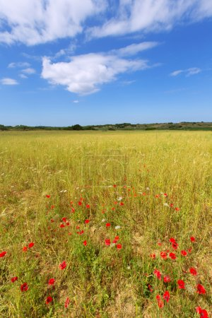 Menorca Ciutadella green grass meadows with red poppies