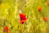 Poppies Poppy red flowers in Menorca spring fields