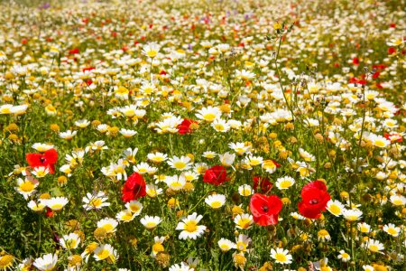 Menorca spring field with poppies and daisy flowers