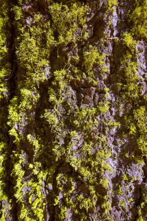 lichen moss on the trunk bark of Sequoia