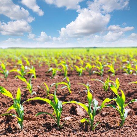 Brotes de campos de maíz en hileras en la agricultura de California