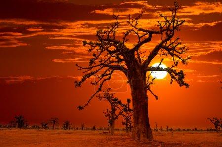 Photo pour Coucher de soleil Afrique dans baobab arbres ciel coloré - image libre de droit